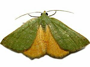 Chloraspilates bicoloraria