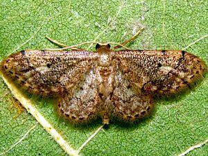 Idaea celtima