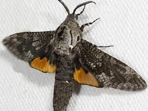 Moth Photographers Group – Living Moths Plate 07F