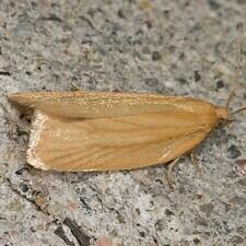 Clepsis clemensiana