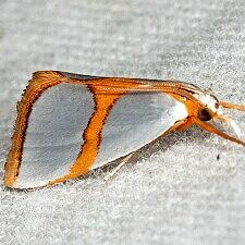 Argyria auratella
