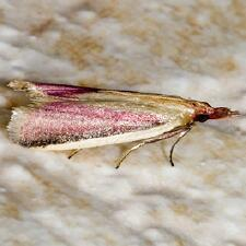 Peoria approximella