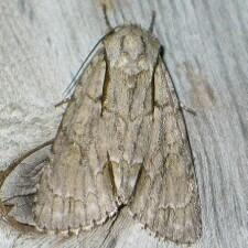 Acronicta interrupta