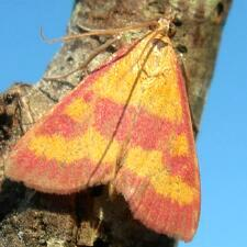 Pyrausta laticlavia