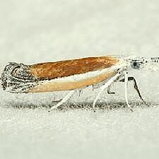 Ypsolopha delicatella