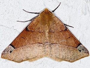 Caripeta triangulata