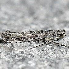 Neurobathra strigifinitella