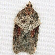 Acleris celiana