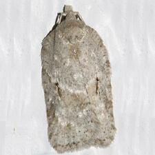 Acleris placidana