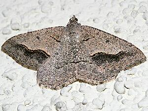 Digrammia decorata