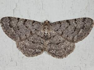 Aethalura intertexta