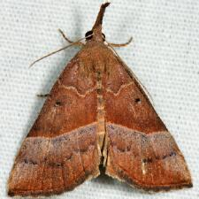 Hypena eductalis