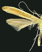 Caloptilia invariabilis