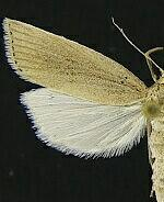 Chilo demotella