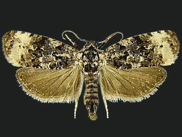 Endothenia gentianaeana