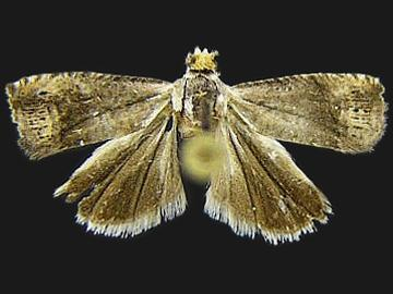Ofatulena luminosa