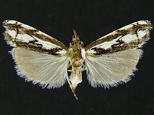 Prionapteryx n. sp.