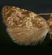 Endothenia microptera