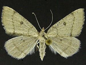 Chloraspilates minima