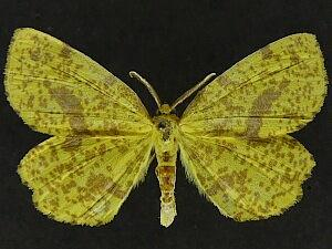 Xanthotype attenuaria