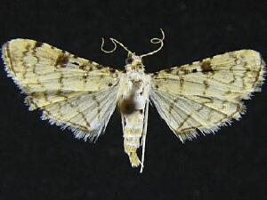 Hileithia differentialis