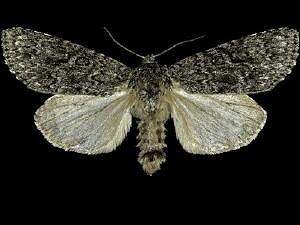 Acronicta impleta