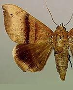 Ophisma tropicalis