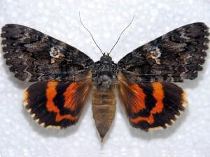 Armstrong State University >> Moth Photographers Group – Catocala ilia – 8801