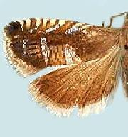 Grapholita angeleseana