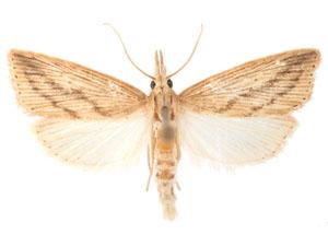 Moth Photographers Group Diatraea Saccharalis 5475