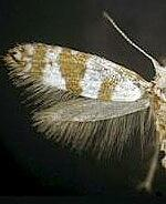 Argyresthia sp.