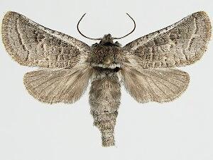 Moth Photographers Group – Comadia redtenbacheri – 2689