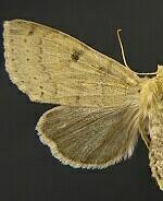 Orthosia arthrolita
