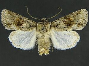 Lacinipolia quadrilineata