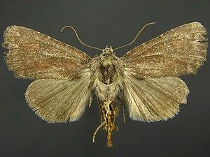 Aseptis ferruginea