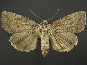 Aseptis ethnica
