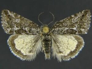 Annaphila scurlockorum