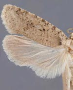 Agonopterix costimacula