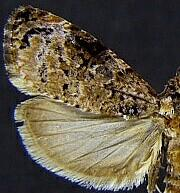 Endothenia hebesana