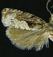 Catastega timidella