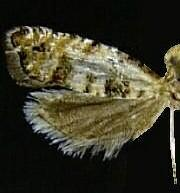 Epinotia normanana