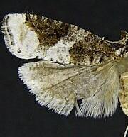 Epinotia lomonana