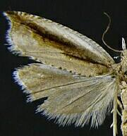 Ancylis goodelliana