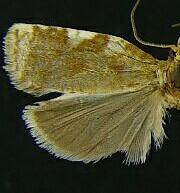 Archips eleagnana