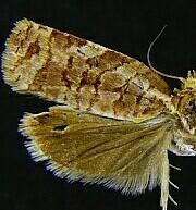 Archips georgiana