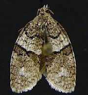 Syndemis afflictana