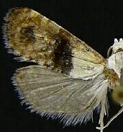 Eugnosta erigeronana