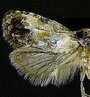 Cochylini n. sp.