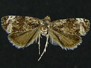 Endothenia montanana
