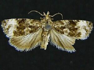 Endothenia heinrichi
